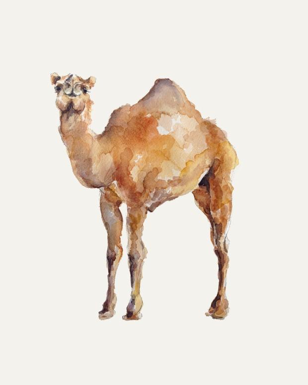 camel-8x10-web